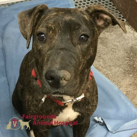 Willow Was Seen At Fairgroundsanimalhospital For A Spay