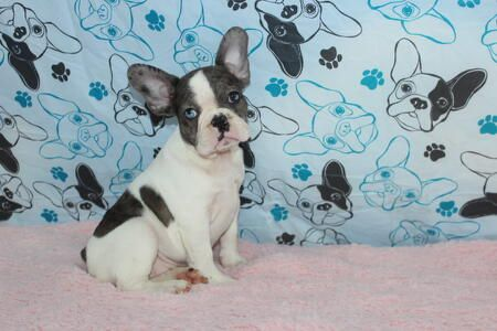 Blue Pied Merle Www Gaugerslittlebullies Com With Images Pied French Bulldog French Bulldog Bulldog