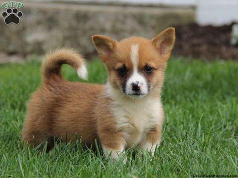 Sammy Welsh Corgi Puppy For Sale From Honey Brook Pa Corgi Board