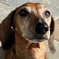 Available Pets At Little Paws Dachshund Rescue In Orangeburg South Carolina Bulldog Breeds Dog Breeds Dog Pounds
