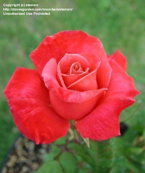 Hybrid Tea Roses And Knockout Roses Hybridtearoses Tea Roses Freesia Flowers Hybrid Tea Roses