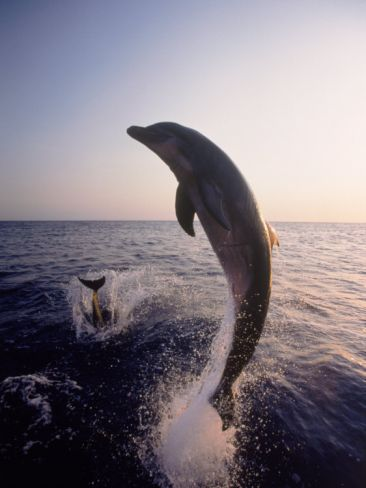 Dolphins Jumping in the Ocean Photographic Print by Stuart Westmorland at Art.com
