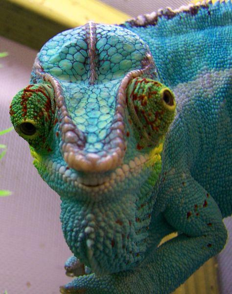 Camaleón y sus mil colores :)