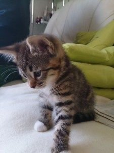 Tabby Cats For Sale Essex In 2020 Tabby Kittens For Sale Grey