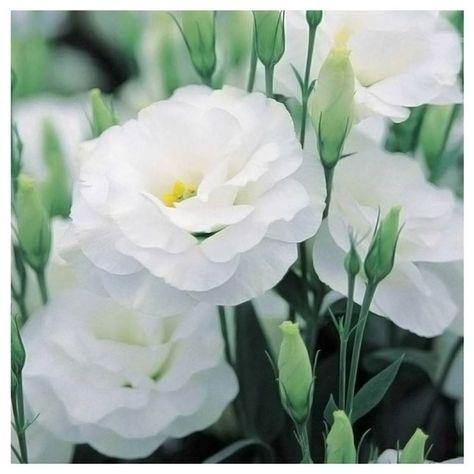 Fiori Lisianthus Bianchi.Lisianthus Bianco Coltivare I Fiori Fiori