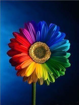 Rainbow Sunflower With Images Rainbow Flowers Rainbow