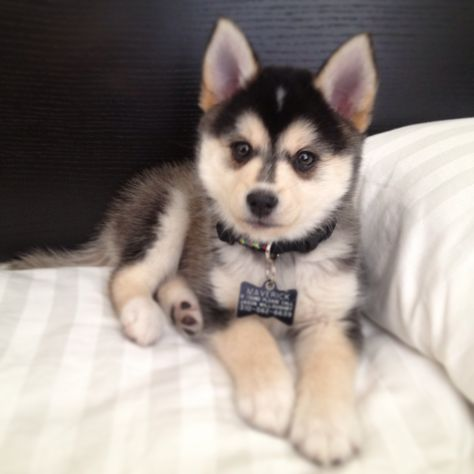 "This pin was labelled ""a full grown pomsky."" THIS IS A HUSKY OR MALAMUTE PUPPY. This is not an adult dog. BUT if you are in love with these ""pomsky"" pics, check out the Alaskan Klee Kai! It might just be the right dog for you! Teacup Pomeranian Husky, Pomsky Puppies, Cute Puppies, Cute Dogs, Dogs And Puppies, Doggies, Puppys, Pomeranians, Huskies Puppies"