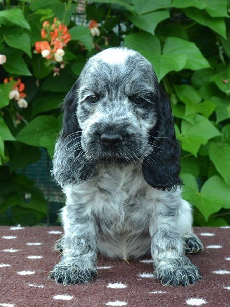 Baby Names English Cocker Spaniel 49 Ideas For 2019 In 2020 Dogs Cocker Spaniel Puppies Spaniel Puppies