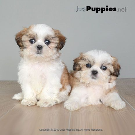 Puppies For Sale Orlando Fl Available Puppies Puppies Puppies For Sale Yorkie