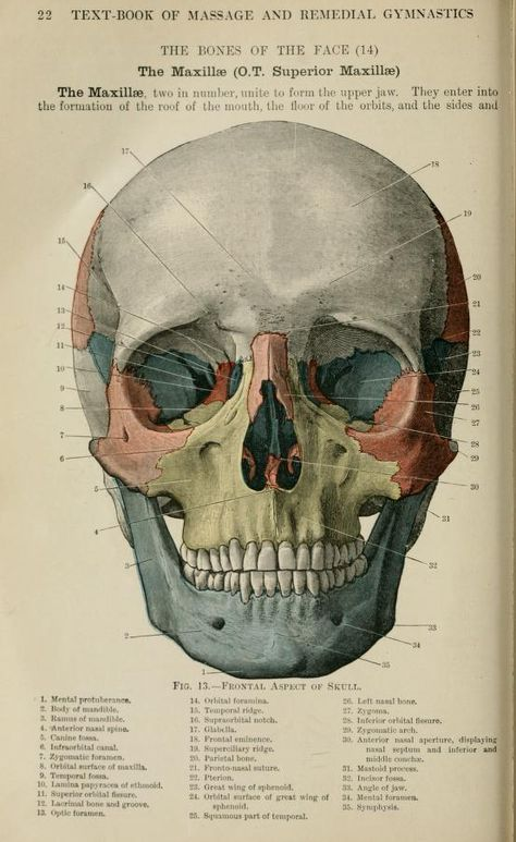 Text Book Of Massage And Remedial Gymnastics Skull Illustration Skull Anatomy Scientific Illustration