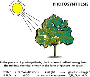 Photosynthesis. In the process of photosynthesis, plants convert ...