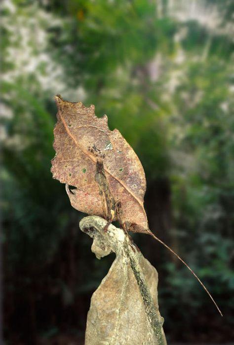 leaf-mimic-katydid
