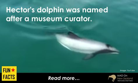 Did you know this?  Watch the video on link...  Fun Facts - Hector's dolphin  - Hector's dolphin is the world's smallest and rarest dolphin. - Hector's dolphin was named after Sir James Hector. He was the curator of the Colonial Museum in Wellington. - Hector's dolphins are endemic to the coastal regions of New Zealand.  #NZ #NewZealand #Funfact #nostalgia #facts #dolphin #hectorsdolphin