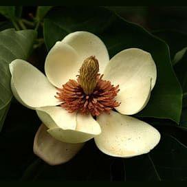 Quiz Which Steel Magnolia Are You Magnolia Trees Magnolia