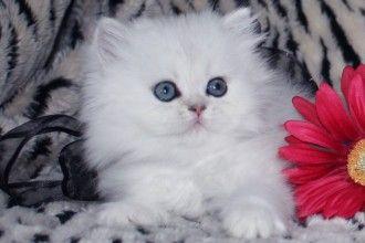 Teacup Persian Kittens 7 Cute Teacup Persian Cat For Sale In Cat
