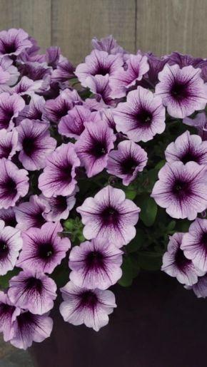 Supertunia Bordeaux Petunia Hybrid Petunia Flower Petunias Shade Perennials