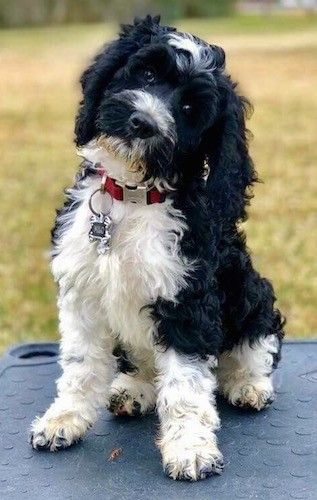 Front View Of A Wavy Coated Black And White Soft Looking Dog With Long Ears That Hang Down To The Sides A Black N Cockapoo Dog White Dog Breeds Black Cockapoo