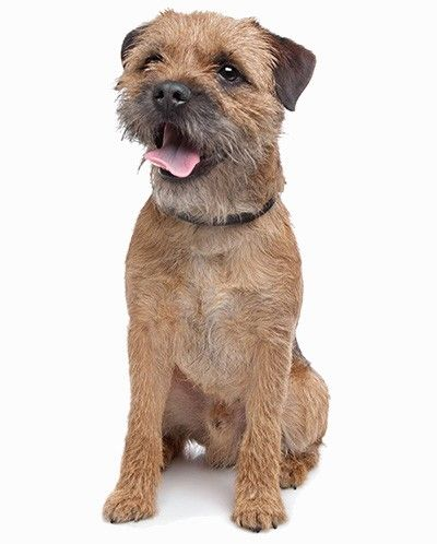 Border Terrier Border Terrier Puppy Terrier Dog Breeds Dog Breeds