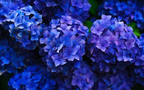 Korean Flowers Hd Wallpaper Hydrangea Purple Funeral Flowers Hydrangea Flower