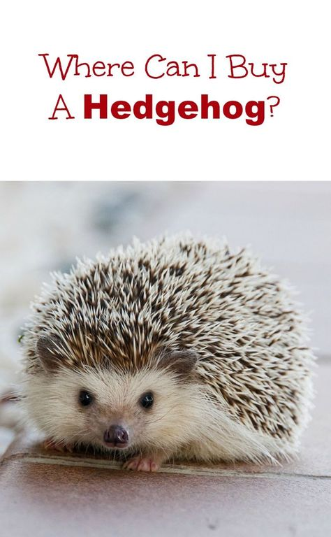Looking for a hedgehog for sale? Find out where to buy a baby hedgehog.