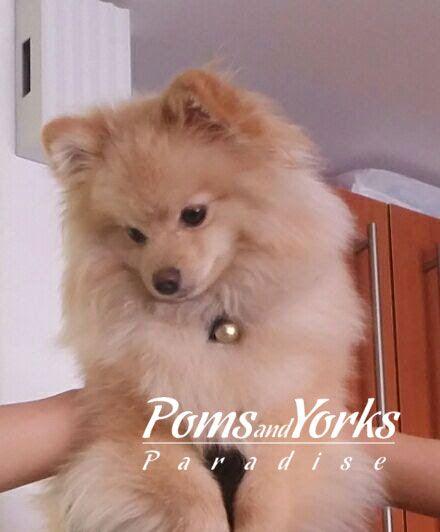 Criadero De Pomeranian En Guadalajara Criadero De Pomeranian Cara De Perro Pomerania Foto De Stock C Khunaspix 61098795 In 2020 Healthy Pets Animal Lover Informative