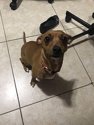 Miami Fl Rat Terrier Meet Cersei A Pet For Adoption