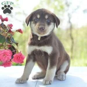 Kelly Labrador Mix Puppy For Sale In Ohio Labrador Mix Puppies Labrador