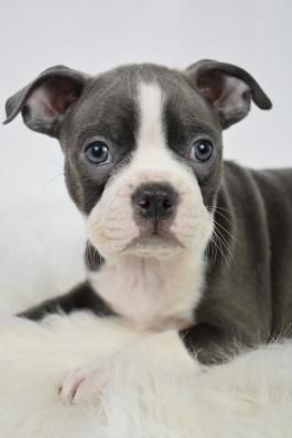Boston Terrier Puppies For Sale With Images Boston Terrier