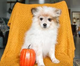 Leila Pomeranian Puppy For Sale In Middlebury In Lancaster Puppies Pomeranian Puppy For Sale Pomeranian Puppy Lancaster Puppies