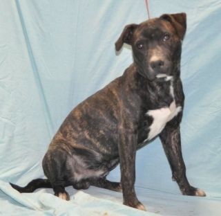 Cecil Is An Adoptable Dog Staffordshire Bull Terrier Labrador Retriever Mix Searching For A Forever Family Near Forrest Dog Adoption Forrest City Lap Dogs