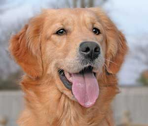 Image From Http Www Mastamariners Com Dusty 002 Jpg Dogs Golden Retriever Best Dogs For Families Dog Lovers