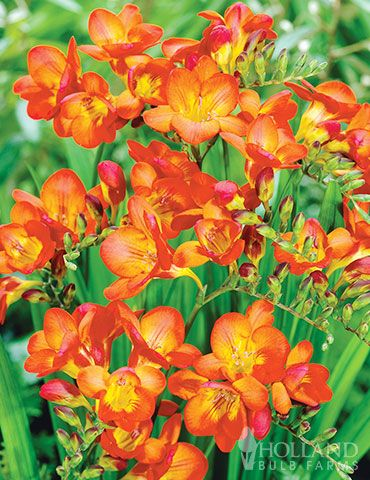How To Grow Freesias Growing Freesia Plants And Freesia Flower Care Freesia Flowers Planting Bulbs Flower Care