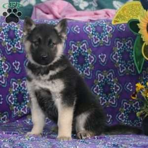 Ace German Shepherd Mix Puppy For Sale In Pennsylvania