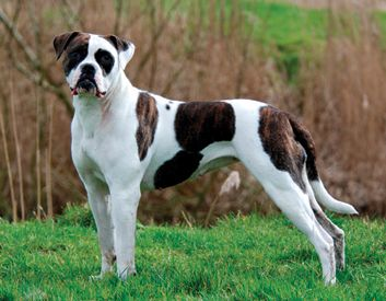 A Hardworking Fellow The American Bulldog Is A Brave And Determined Dog Who Will Loyally Protect His American Bulldog Puppies American Bulldog Bulldog Breeds