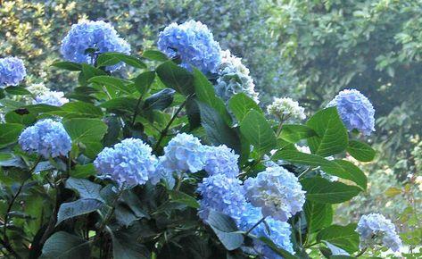 Hortensien Bluten Blau Farben So Klappt Es Garantiert In 2020 Hortensien Garten Pflanzen
