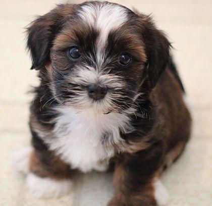 Shih Tzu Affectionate And Playful Shih Tzu Puppy Zuchon Puppies For Sale Shih Tzu