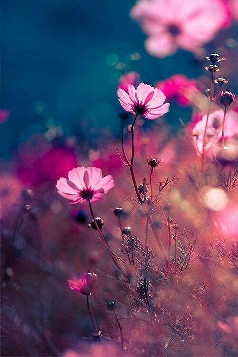 Pink wildflower wallpaper. Blue background