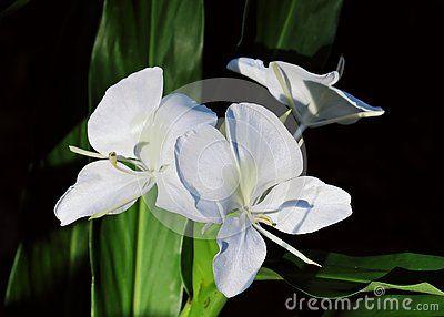 White Ginger Flower In Costa Rica White Ginger Lily Flower In Bloom Isolated On Black Background Ginger Flower Lily Flower White Garland