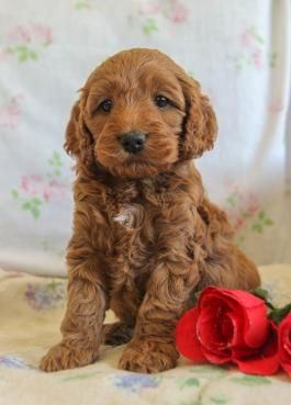 Cockapoo Puppies For Sale Lancaster Puppies In 2020 Cockapoo Puppies For Sale Cockapoo Puppies Lancaster Puppies