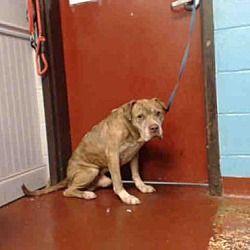 Atlanta Ga Staffordshire Bull Terrier Meet Patrick A Dog For