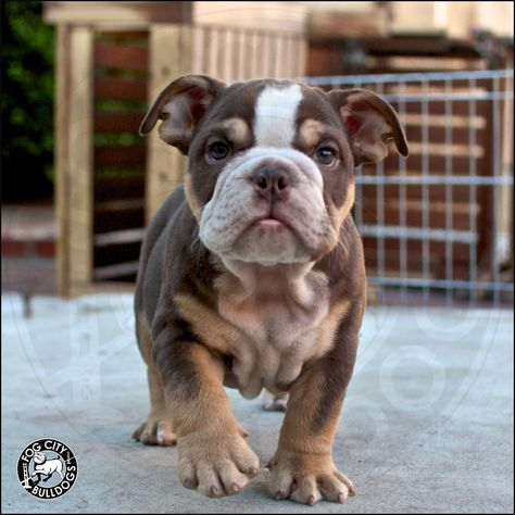 Chocolate Obsessed Dark Chocolate Tricolor English Bulldog Puppy