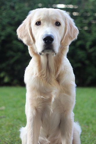 Dexter 6 Months Old Dogs Golden Retriever Labrador Puppy