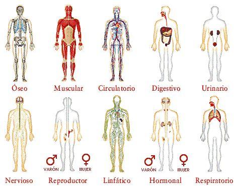 Cuerpo humano. Todos sus sistemas aprender para niños