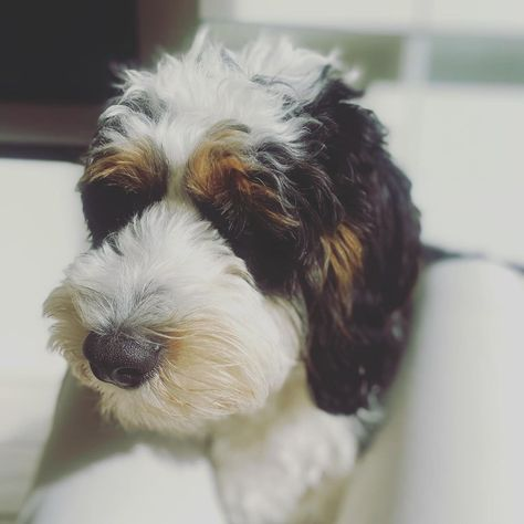 """Sunny (@sunny_bernedoodle) added a photo to their Instagram account: """"Just one more kissy 🐶😘 . . . . . . . . . . . #tagstagram #dog #dogs #dogsofinstagram #dogoftheday…"""""""