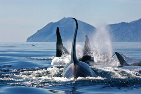 Group Of Killer Whales, Bering Sea Photography By: Alexander Burdin