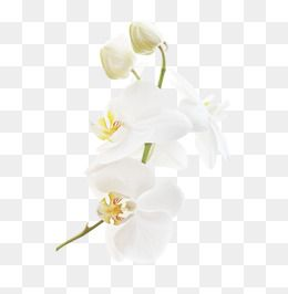 White Orchid Flowers Decorative Pattern Leave The Png Decorative Pattern Leave Png White Clipart Orchid Clip White Flower Png White Orchids Textured Background