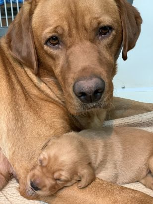 Fox Red Lab Puppies For Sale Wisconsin In 2020 Lab Puppies Red Lab Puppies Fox Red Labrador Puppy