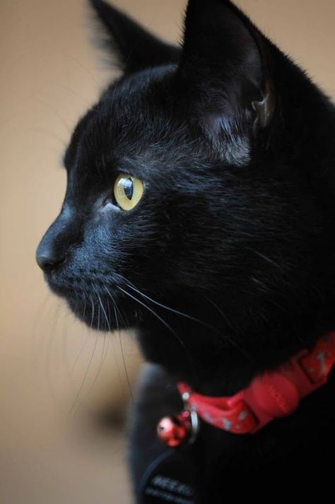 October is officially designated as Black Cat Awareness month. The month is meant to promote adoption of black cats who, sadly, have lower adoption rates than different colored cats.