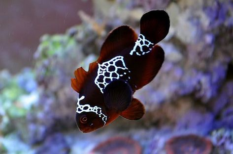 New Breed Of Clown Fish Lighting Maroon Clownfish Reef Central