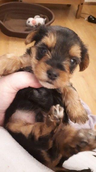 Stunning Miniature Biewer Yorkshire Terrier Puppy Miniature